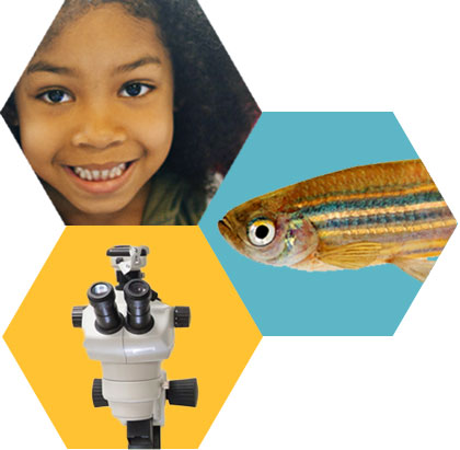 InSciEd Out Why Zebrafish graphic
